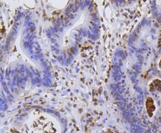 HistoneH2AE Rabbit anti-Human, Clone: SR4-17, Novus Biologicals 100µL